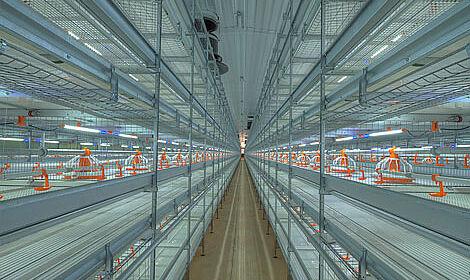 Un système d'éclairage innovant pour des poulaillers élevage en groupe
