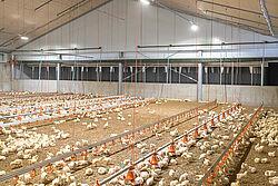 Intérieur d'un élevage de poulets de chair avec des animaux