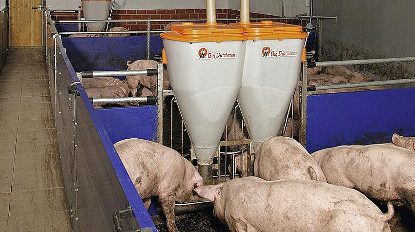 Porcs à l'engrais avec un nourrisseur automatique