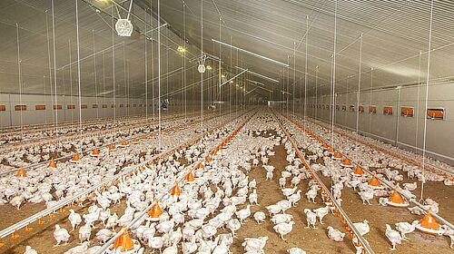 Engraissement de poulets de chair dans le nouveau bâtiment