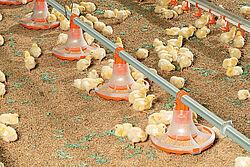 Les poussins se nourrissent à partir du nouveau plateau pour l'engraissement des poulets de chair