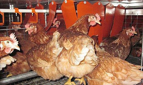 L'intérieur du système Colony aménagé pour l'élevage en groupe