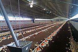 Vue dans le bâtiment d'engraissement de poulets de chair