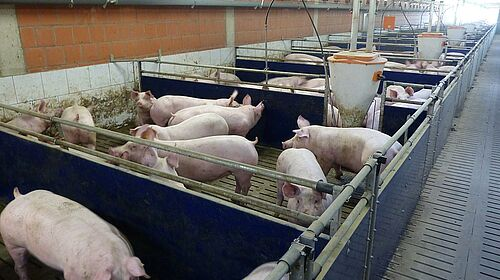 Vue dans le bâtiment d'engraissement : cases, équipements et porcs