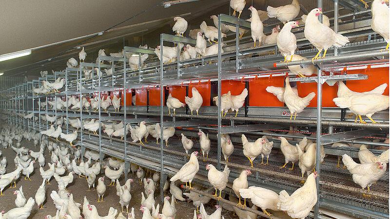 Systèmes alternatives: poules pondeuses dans une volière NATURA-Step