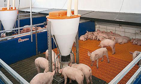Nourisseurs à soupe dans l'élevage de porcelets