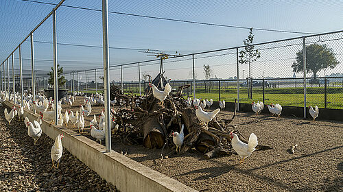 Poules pondeuses dans un enclos protégé par des treillis