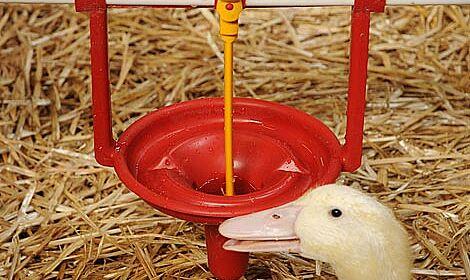 Vu de près : L'abreuvoir coupelle Pekino pour l'élevage de canards