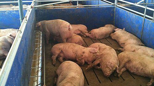 Engraissement de porcs : case avec mangeoire longitudinale