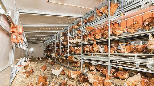 Volière avec poules à l'intérieur du bâtiment mobile