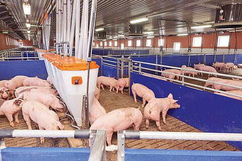 Engraissement des porcs