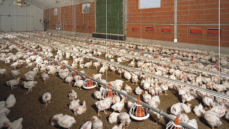 Bâtiment d'élevage de volailles de chair