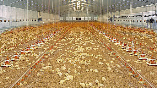 Bâtiment d'élevage de poulets de chair avec poussins et matériel d'élevage
