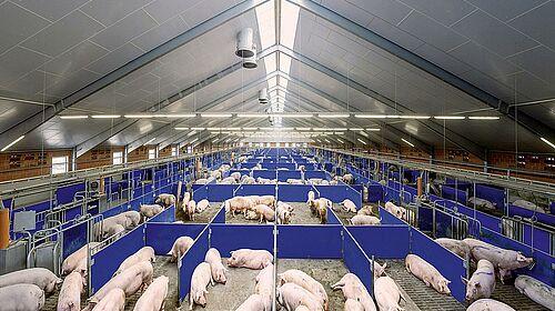 Zone d'attente de l'élevage des truies (élevage en groupe)