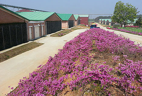 Élevage de truies d'excellence à Nonsan-si, en Corée du Sud