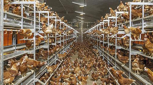 Vue dans bâtiment d'élevage en volière : les poules peuplent le Natura Step