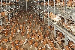 Photo d'élevage avec des poules