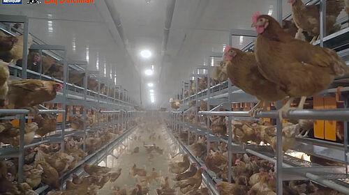 Le système Natura Step est approprié pour l'élevage des poules pondeuses au sol et en plein air