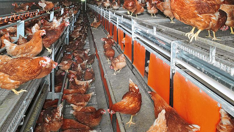 Élevage en volières avec NATURA-Nova Twin – pour poules pondeuses en élevage au sol et en plein air