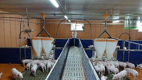 L'intérieur de la porcherie : vue sur le matériel d'élevage ainsi que les systèmes d'alimentation