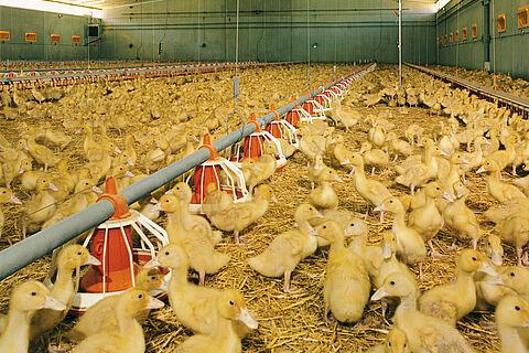 Le plateau Multi Pan Plus pour la finition des canards