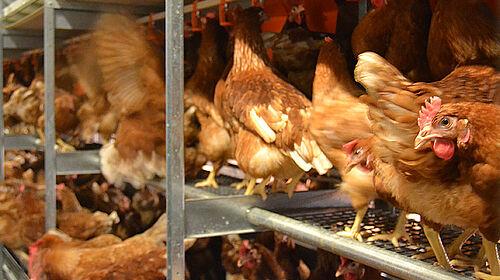 Gros plan des poules pondeuses dans la volière