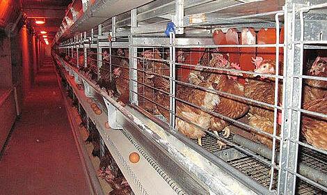 Conformes à la directive 1999/74/CE : les systèmes avicole pour l'élevage en groupe
