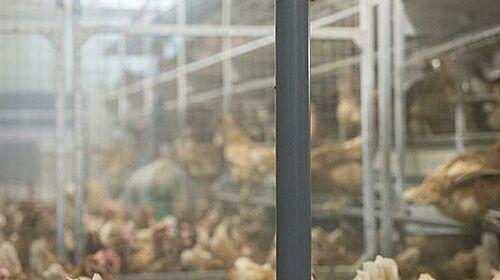 Bâtiment avec pendule pour l'élevage des poules pondeuses