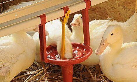L'élevage des canards avec des animaux immergants leur tête dans l'eau