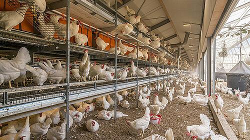 Élevage en volière : poules pondeuses dans NATURA Step avec vue sur l'enclos