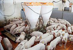 Porco Bello : matériel d'élevage et systèmes d'alimentation pour l'engraissement des porcs