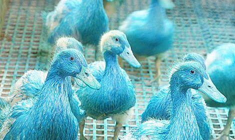 Canards bleus
