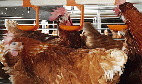 Elevage en groupe - une sécurité de production d'oeufs garantie qui respecte le bien-être animal