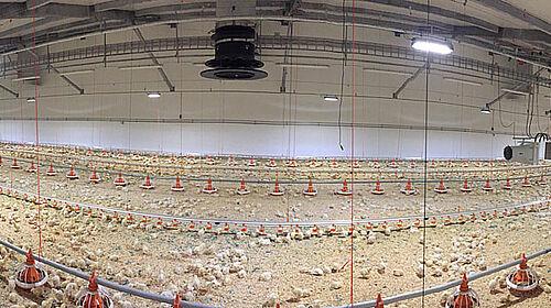 Photo panoramique de l'intérieur du nouveau bâtiment d'engraissement de poulets de chair