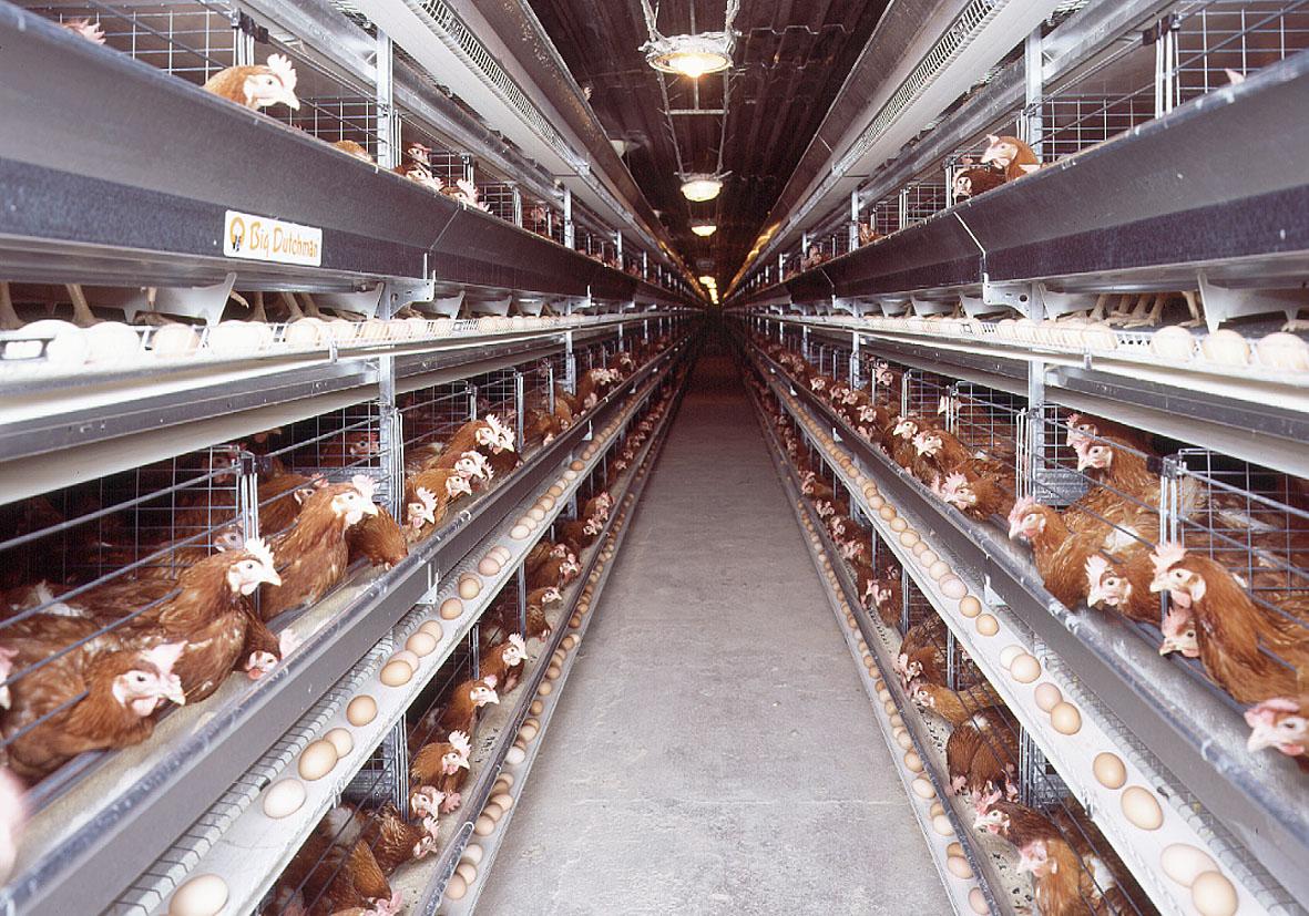 Dossier ufs contamin s pesticides et l 39 enfer des poules en batterie anti k - Ou acheter des poules pondeuses ...