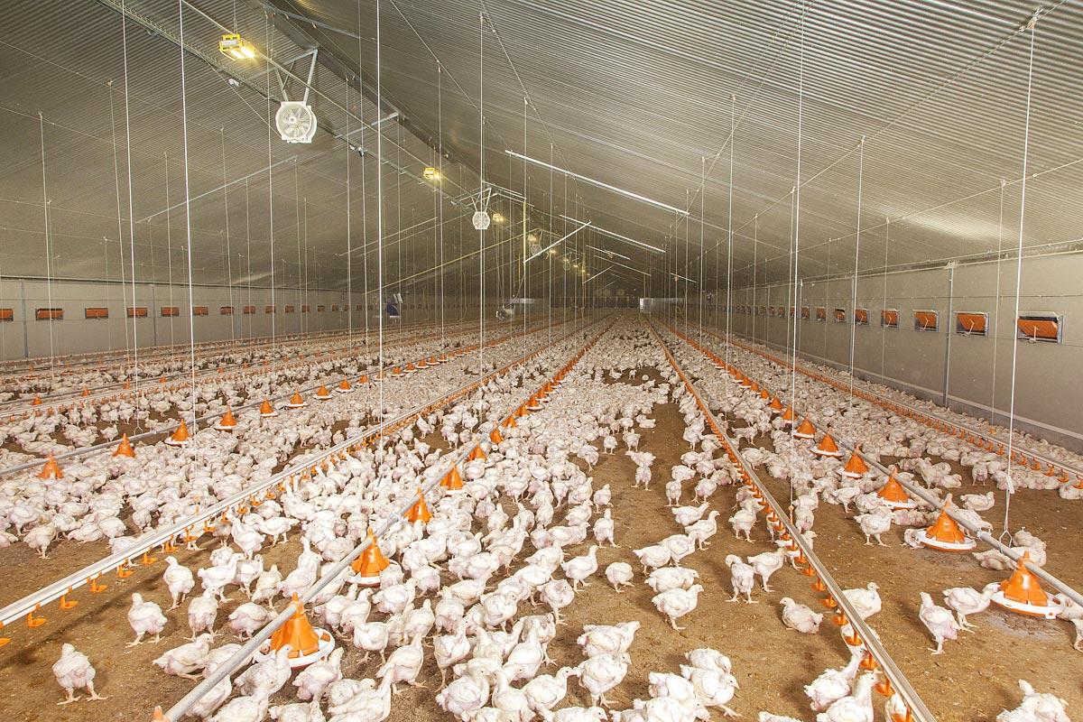 Engraissement de poulets de chair dans le nouveau bâtiment les animaux ont déjà grandi
